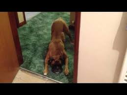 boxer dog youtube 51 best boxer dog videos images on pinterest boxer love dog