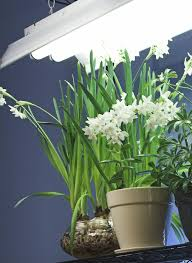Plants Indoors by Fluorescent Lights Fluorescent Light And Plants Fluorescent