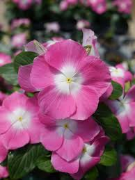 vinca flowers vinca mega bloom pink halo f1 all america selections