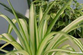 Best Plant For Indoor Low Light Best Indoor Plants Low Light Low Light Houseplants Plantopedia