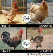 Chicken Meme - girls vs boys single and married chickens and rooster exle