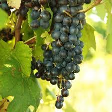 Grape Trellis For Sale Grape Vines For Sale Double A Vineyards