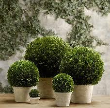 Live Topiary Tree - topiaries rh