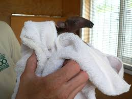 tucson parks foundation rare tamandua birth at reid park zoo w