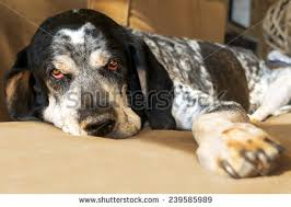bluetick coonhound pics closeup bluetick coonhound hunting dog relaxing stock photo
