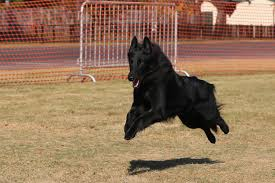 belgian sheepdog and cats roxy flies and earns 2 qs in fast cat u2013 blackforest belgian