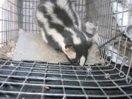 tucson humane nuisance wildlife animal removal u0026 relocation skunks
