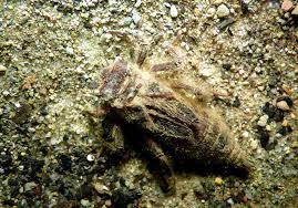 Tę larwę złapał Jakub Liberski 27 czerwca 2010 r. w okolicy Zwardonia, w potoku Roztoka, kwadrat UTM CV58. Jest to duża larwa, długości ponad 40 mm, ... - JL_P1020272