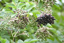 fertilizer for elderberry bushes best time to fertilize elderberries