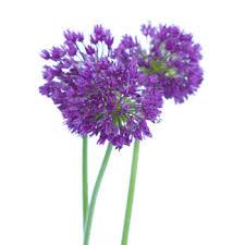 allium flowers grape purple flower