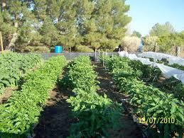 texas a u0026m agrilife vegetable demonstration gardens el paso