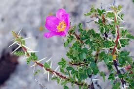 new mexico native plants roses an ecologically true love story natureserve