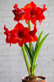 amaryllis bulbs item 7065 rival for sale