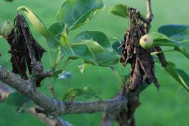 leaves on a pear tree are turning black this help