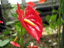 anthurium flower anthurium care tips on the proper care for anthurium