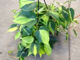 fabulous philodendron choices hgtv