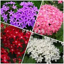 pentas flower pentas flower sapling at rs 450 pair lapra ranchi id