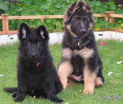 australian shepherd with german shepherd 25 best short haired german shepherd ideas on pinterest short