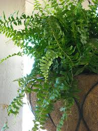 Cascading Indoor Plants by Boston Fern Indoor Plant