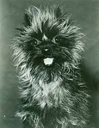 affenpinscher havanese mix affenpinscher history u0026 training temperament