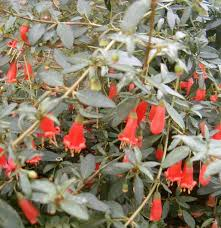 australian native plant nursery brisbane correa pulchella salmon correa australian fuchsia is a species