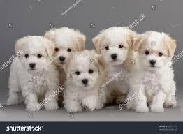 bichon frise funny bichon frise puppies on gray background stock photo 65271721