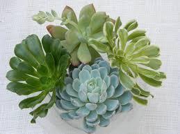 6 large succulent cuttings rosette shape for bouquets