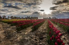 Tulip Festival Map Tulip Festival Photography Tours