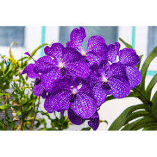 orchid flower orchid flower in chennai suppliers prices in chennai tamil nadu
