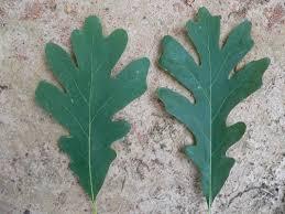 White Oak Leaf Oak Forests Natural Communities Of Georgia