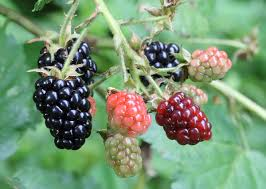 native brazilian plants blackberry wikipedia