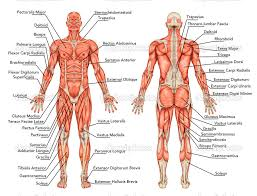 muscular system muscle names human anatomy chart