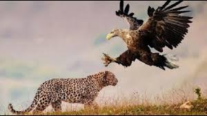leopard vs eagle vs lion vs hyena youtube