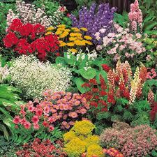 cheap cottage garden plants for sale online buy cottage garden