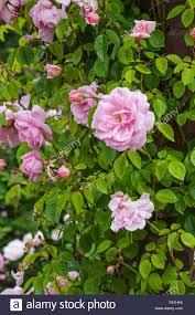 climbing roses stock photos u0026 climbing roses stock images alamy