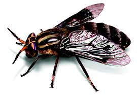 deer flies how to identify u0026 get rid of deer fly problems