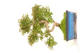 ray nesci bonsai nursery home june 2017 bonsai tree gallery