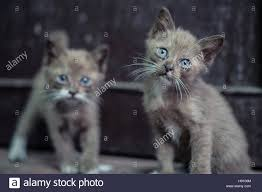 portrait of two beautiful kittens with blue eyes standing outdoors