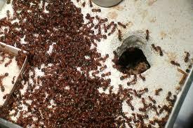 acarien de cuisine acideformik com acariens chez formica sanguinea