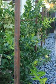 50 best espaliered fruit trees images on pinterest espalier