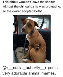 Memes De Chihuahua - this pitbull wouldn t leave the shelter without the chihuahua he