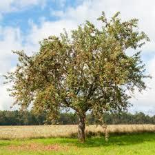 standard size apple trees for sale stark bro s