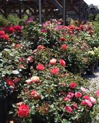 how to plant a dormant rose sloat garden center
