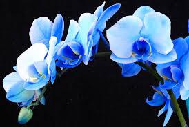 blue orchids blue orchids