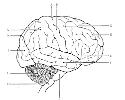 drawn brains unlabeled lateral pencil and in color drawn brains