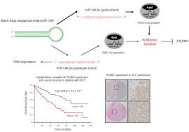ijms free full text dual strands of pre mir 149 inhibit cancer