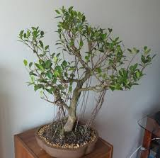 bonsai ficus with aerial roots by best bonsai com