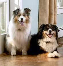 south florida australian shepherd dogwatch of south florida the world u0027s safest most reliable