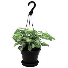 non flowering house plant arrowhead plant indoor plants
