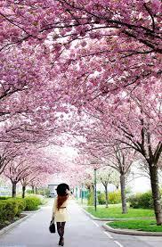 cherry blossom time in vienna vienna insider